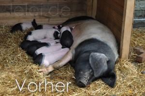 Schwein - Vorher
